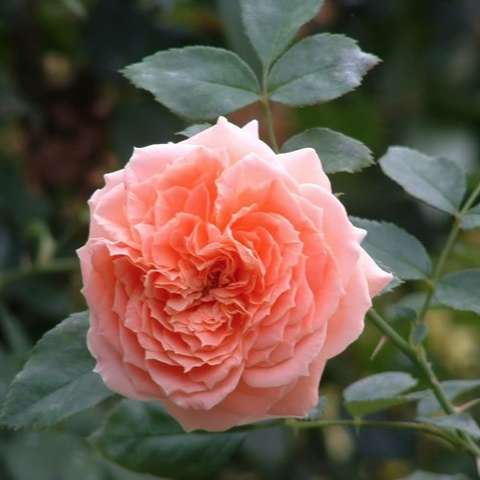 Rosa Dakota Song, very double apricot flower