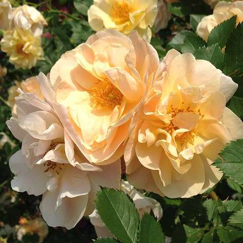 Rosa Above and Beyond, warm gold to almost pale orange semidoubles