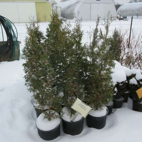 Thuja Compact Pyramidal, green narrow evergreens in winter