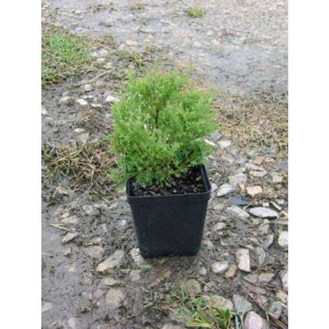 Thuja Sherwood Moss, very thin needled conifer, miniature