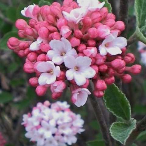 Viburnum carlesii Prairie Rose, buds in dark pink, opening to light pink