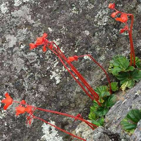 Begoia veitchii, red flowers and green leaves growing right out of rocks