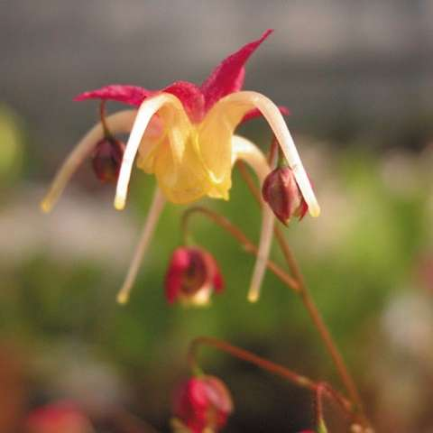 Epimedium Yohiki, yellow and red spider-like flower