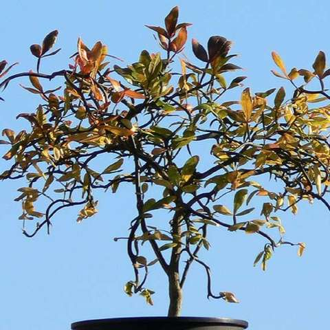 Trifoliate orange Flying Dragon, twisted branches and thorns