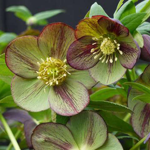 Helleborus Winter Jewels Jade Star, green flowers with red streaks, yellow centers