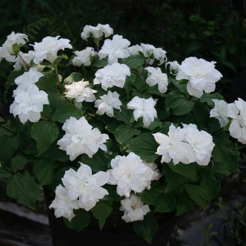 Trillium grandiflorum Plenum, double white blooms