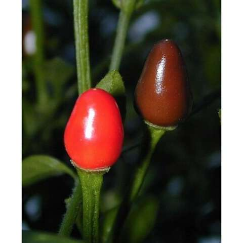 Birds Eye Baby pepper, small oval red hot pepper
