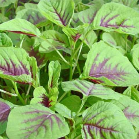 Amaranthus 'Yin Tsai', green leaves with thick red veins