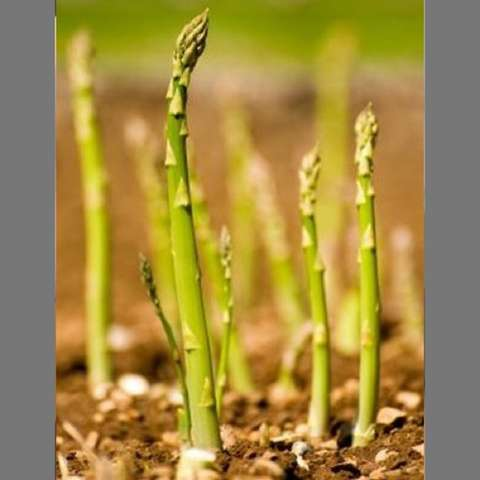 Mary Washington asparagus growing in the ground