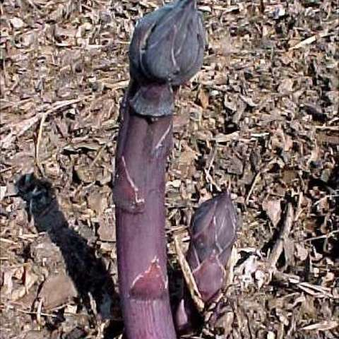 Purple asparagus growing out of the ground