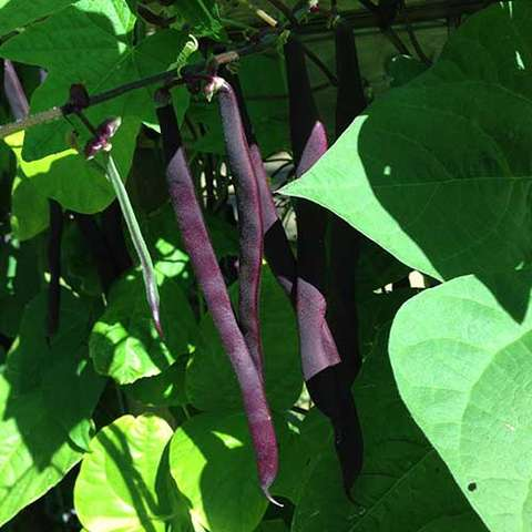 Purple Podded Pole bean, purple pods against green leaves