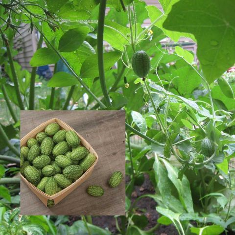Cuke-nuts growing on the vine with inset of picked fruits