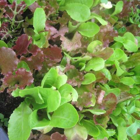 Lettuce mix with red, green, and varying leaf shapes