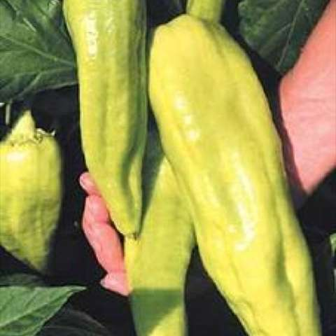 Aconcagua pepper, very light green-yellow narrow long peppers