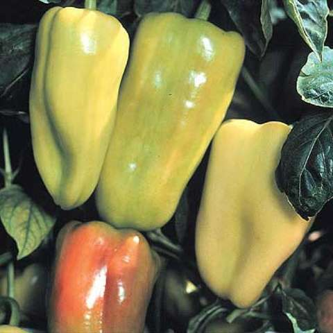 Gypsy sweet pepper, yellow-green going to red