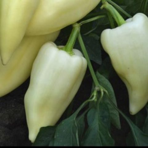 Mira peppers, white, fairly narrow and pointed, smooth
