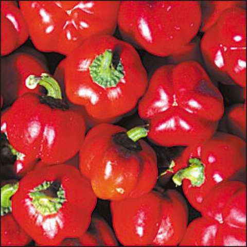 Sheepnose Pimento peppers, small bright red fruits