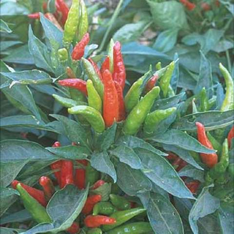 Thai Hot peppers growing on a bushy plant