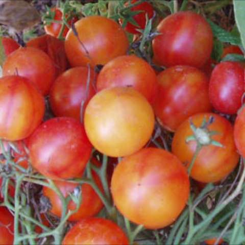 Tomato Heirloom Isis Candy Cherry Friends School