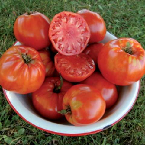 Seed Saver's Italian tomato, round red fruits