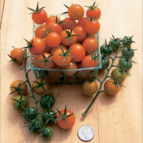 Sungold cherry tomaotes, about dime sized, ornage