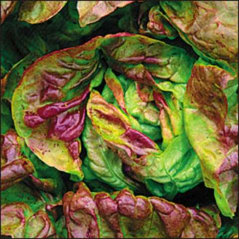 Yugoslavian Red Butterhead lettuce, green leaves with big red tinges